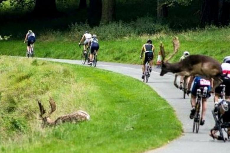 ВИрландии олень сбил велосипедиста впроцессе состязаний потриатлону