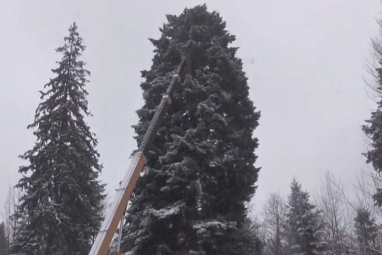 ВИвано-Франковской области срубили главную елку Украинского государства